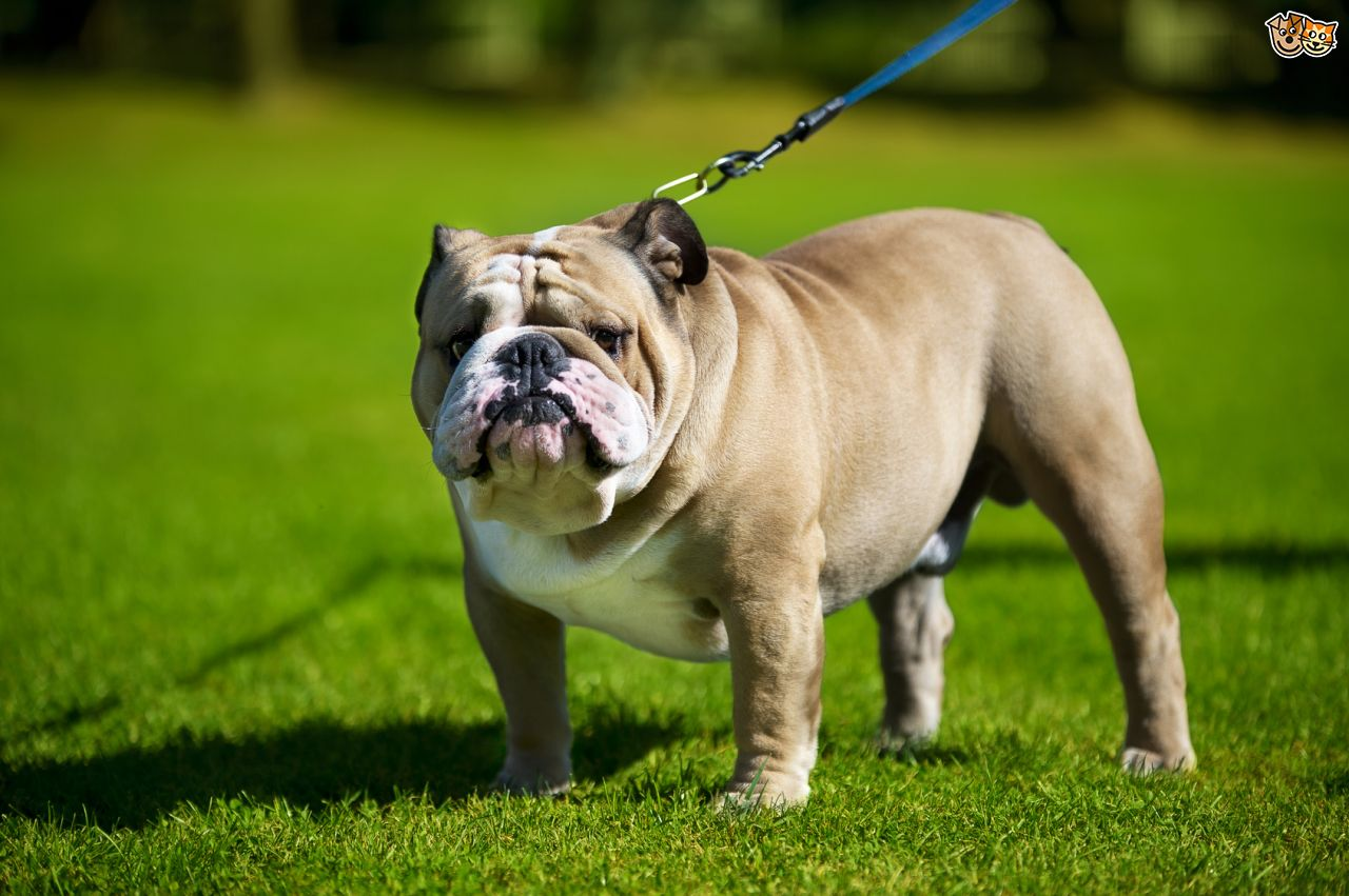 Lovely dog for Breeding